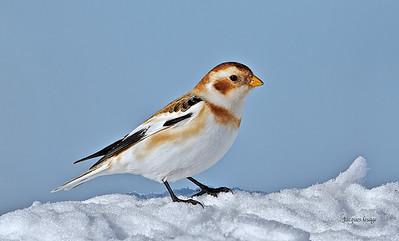 Plectrophane des neiges - Rang Lorraine 19 janvier