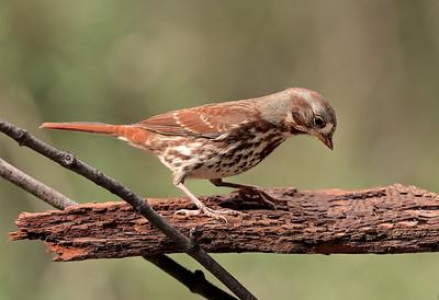 Bruant fauve. Fox sparrow. Boisé Langevin, Boucherville.