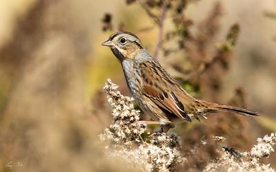 Bruant des Marais, Swamp sparrow. Boisé du Tremblay, Boucherville.