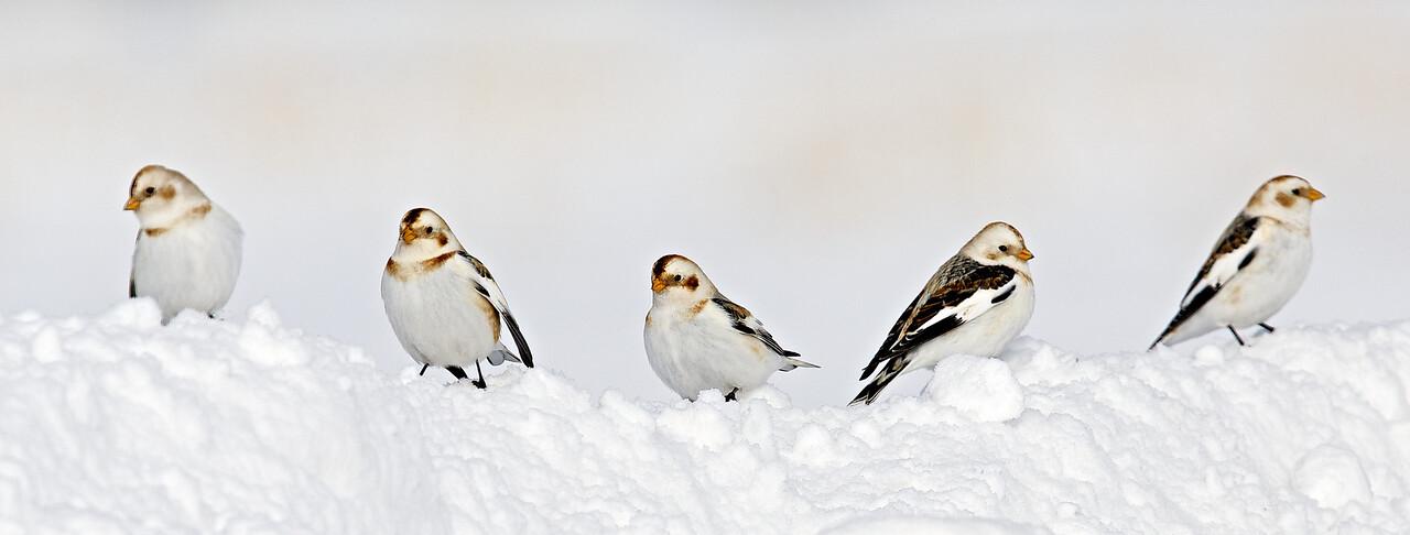 plectrophane des neiges, Mirabel 2014