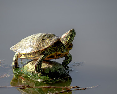 General Terrapin Crossing The Lake