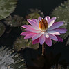 Water Lily Doing Yoga at Dawn
