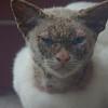 "A cat with an angry looking expression - Bandar Seri Begawan, Brunei.  Travel photo from Bandar Seri Begawan, Brunei. <a href=""http://nomadicsamuel.com"">http://nomadicsamuel.com</a>"