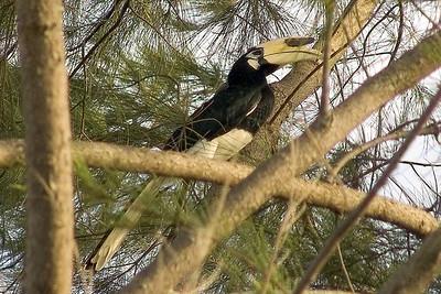 Ein Hornbill: Davon gibt es viele hier im Camp.eigentlich leben sie nicht in bewohnten Gebieten.