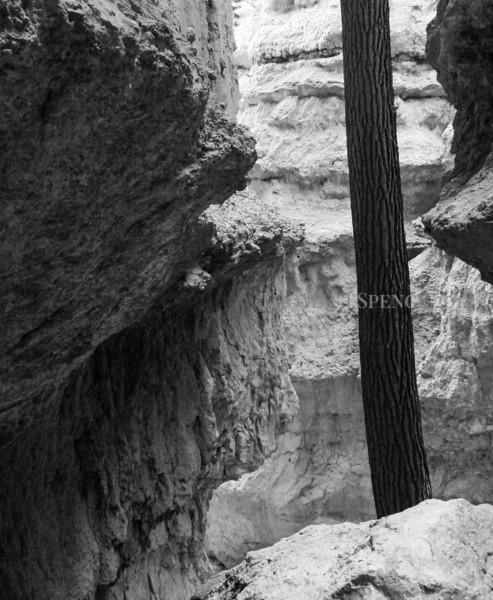 Lone Fir in the Canyon