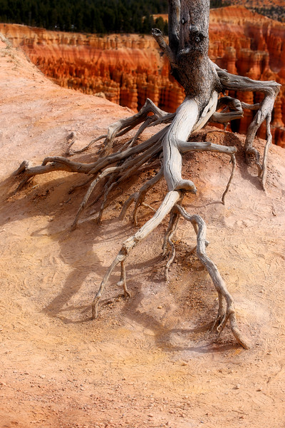 Bryce Canyon Tree Roots 2 4.2017.jpg