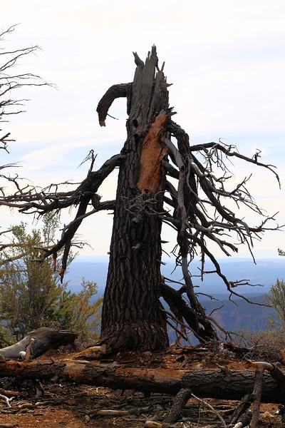 Bryce Canyon Lightening Tree 4.2017.jpg