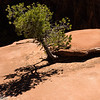 Pine tree and shadow, Zion.