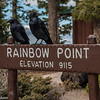 Ravens at Rainbow Point, Bryce Canyon.
