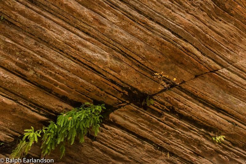 Ferns in a crack in Hidden Canyon, Zion.