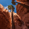 Wide-angle (14-mm) shot of Douglas Fir trees in Wall Street, Bryce Canyon.