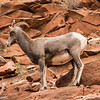 Bighorn Sheep along Highway 9 in Zion.