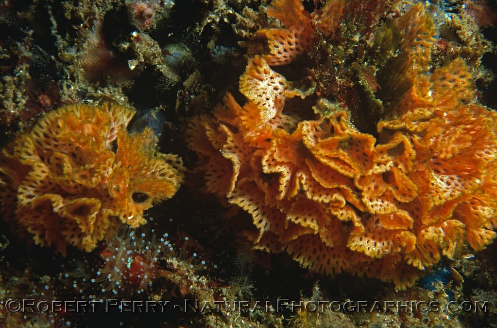 Phidolopora pacifica bryozoan-001