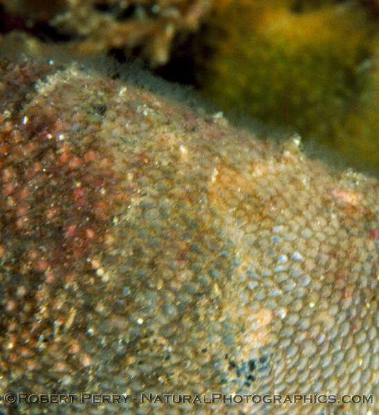 Bryozoans CLOSE & lophophores Log 700 1908-07