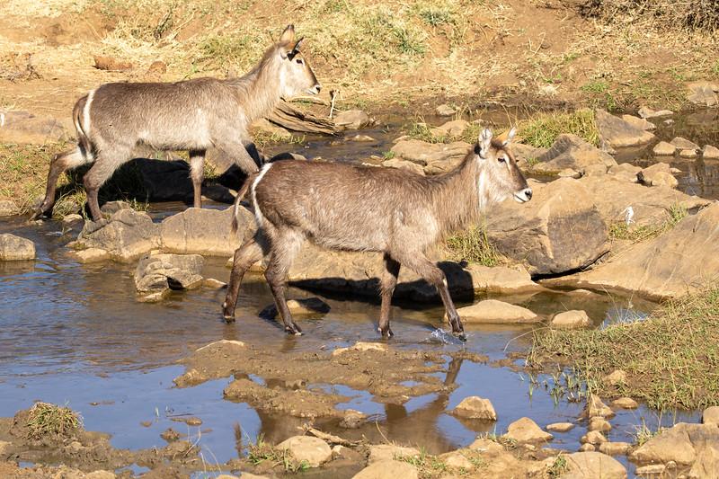 Water Buck