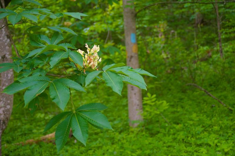 Burr Oak 2