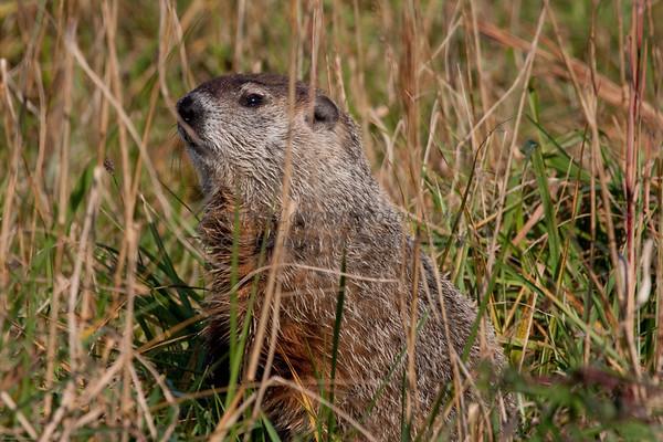 Groundhog, Tyler State Park, Newtown, Bucks County, PA