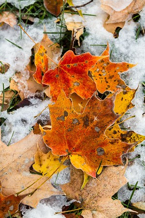 Fall Leaves in Snow