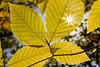 Sunburst Through Fall Leaf