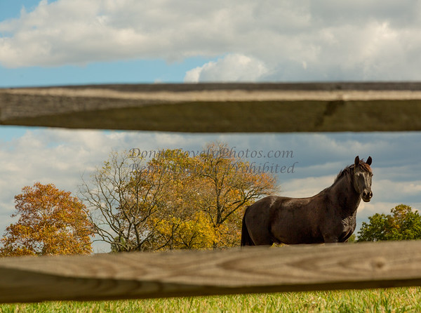 Black Horse Through Fence