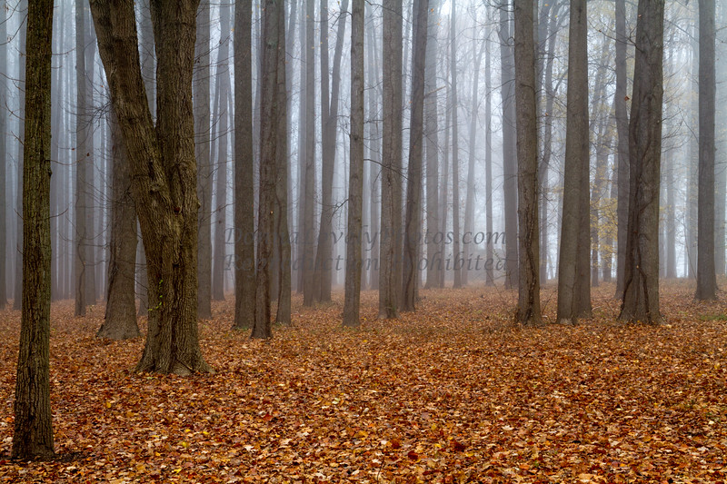 Grove of Trees in Fog, Washington Crossing Park, New Hope, PA