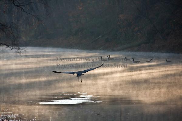 Great Blue Heron Taking Off, Tyler State Park, Newtown, Bucks County, PA