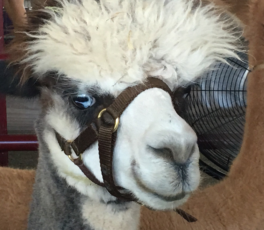 . The llamas and alpacas are always eager to meet and greet Grange Fair visitors.