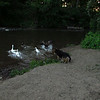 Maddie chase geese canal goose
