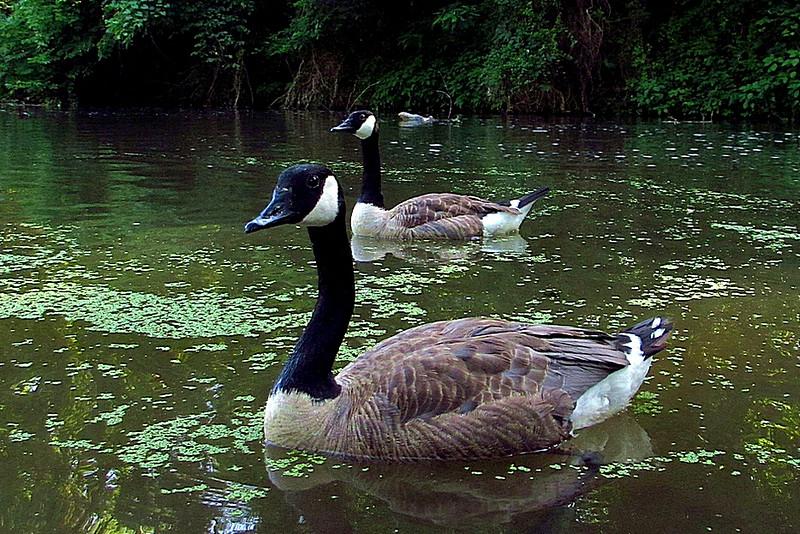 Josephine, Napoleon, canal, geese, FB