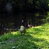 Novio, canal, goose