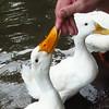 Sonny, bite, finger, duck, canal