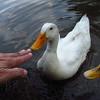 Sonny, touch, beak, me, duck, canal, 33