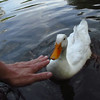 Sonny, touch, beak,  me, duck, canal, 7