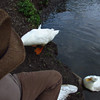 Sonny, up, on bank, beside, me, duck, canal