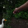 sonny, duck, treats, canal