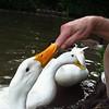 Sonny, bite, finger, duck, canal, 3