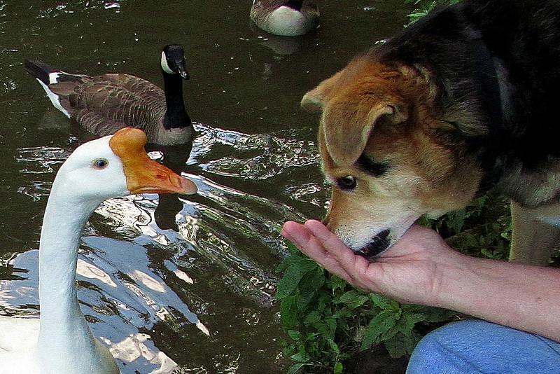 Maddie, Big Guy, goose, canal, treats, close, 2,  FB