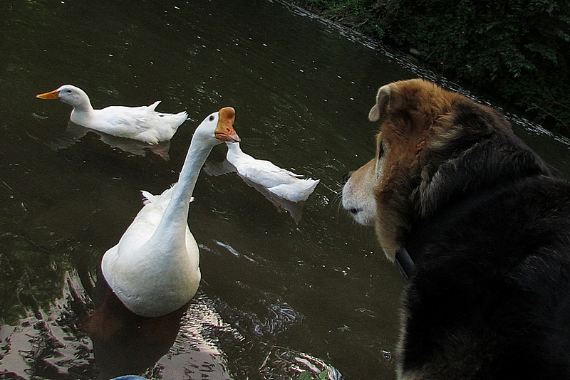Maddie, Big Guy, goose, canal, stare, close, FB