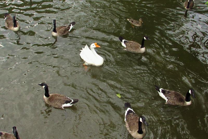 Big Guy, goose, canal, 2