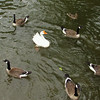 Big Guy, goose, canal, 2