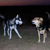 Kingwood, lobo, husky, maddie