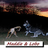 Maddie, lobo, kingwood, cover