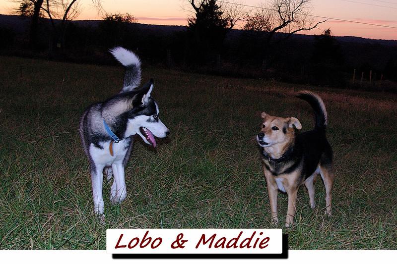 Maddie, lobo, kingwood, cover