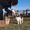 Sam beagle basset kathi 3