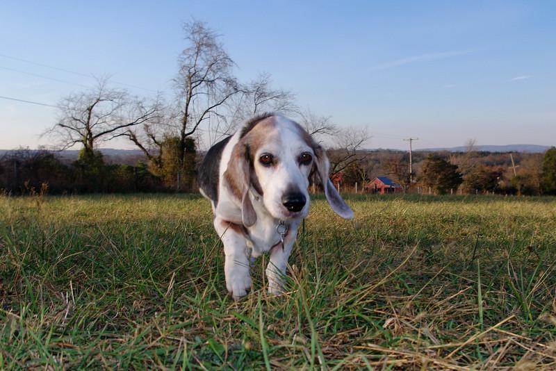 Sam baset beagle