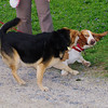 Maddie, kirby, dog, bassett, 2