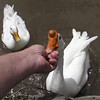 Me, hand, goose, big guy, canal, cher