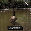 Napoleon, goose, canada, canal, FB