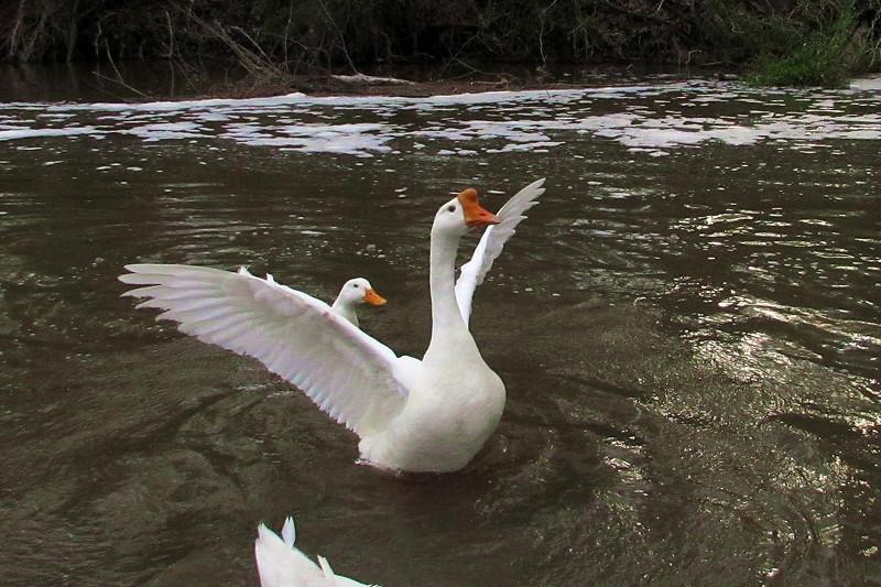 sheldon, big guy, goose, wings, canal, 5