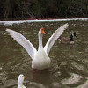 sheldon, big guy, goose, wings, canal, 4